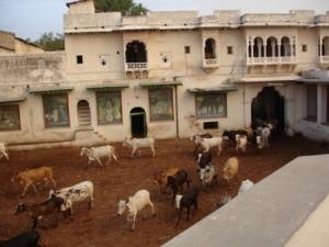 Shreeji Gaushala at Nathdwara, about 2 km form His Haveli