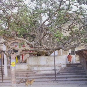 The tree at Chir-Ghat on the banks of Yamunaji
