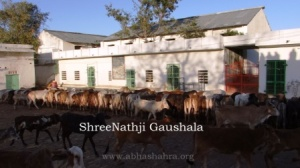 ShreeNathji Gaushala at Nathdwara