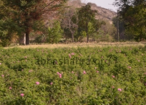 Chaitri Gulab feild just below the Aravali hills