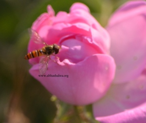 These roses being very sweet smelling are always surrounded by the honey bee