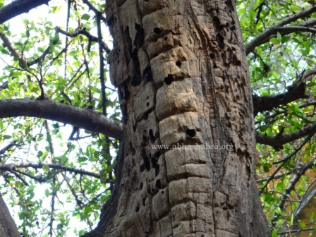 The very old tree trunk with numerous holes