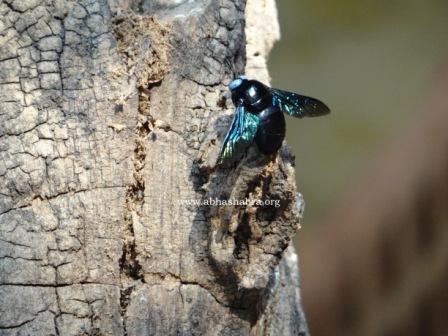 These are the Buble bee which live on this tree. there are several holes in the trunk where they just disappear