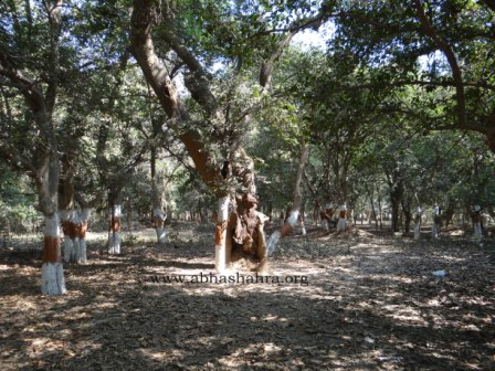 A very old sacred tree