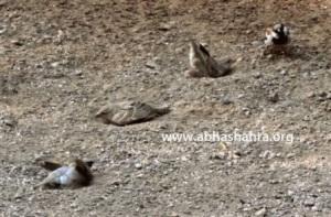 Sparrows enjoying a mud bath
