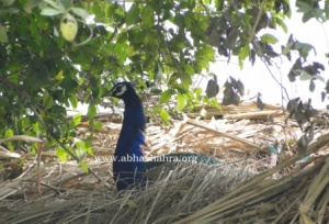 This bird has made a nest like structure on top of a haystack in one of the holy Sthals at Braj