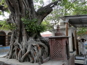 The very ancient pure Vat tree where Shree Krishn played His flute