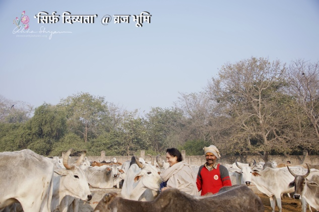 The photo says it all! The divine land yatra is never complete without at least one photo with beloved gaumata — at Mahalakshmi Mandir, Belvan, Vrindavan.