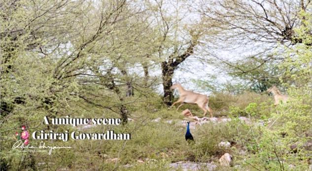 A peacock witnessing five Neel Gai running through Govardhan — at Goverdhan Giriraji Tehaleti Jatipura Prikrama.